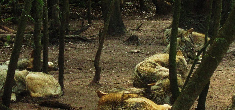 Lobos descansando en un bosque