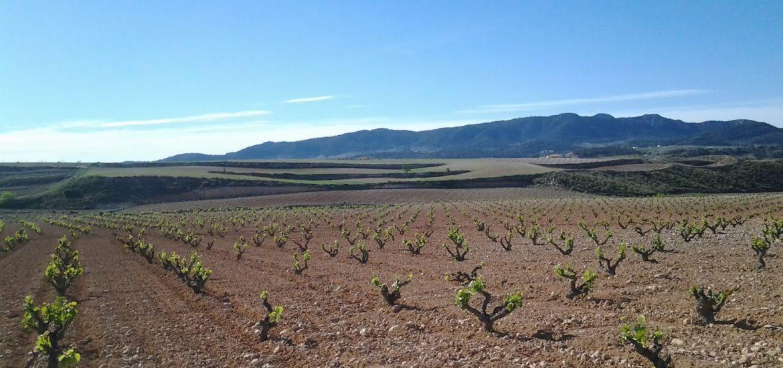 Extensos viñedos de Jumilla.